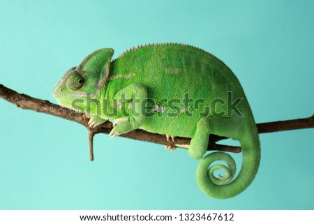 Stock Photo Cute green chameleon on branch against color background