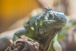 Cute green iguana (Iguana iguana), also known as the American iguana, is a large, arboreal, mostly herbivorous species of lizard