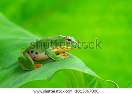 Cute green tree frog