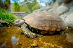 cute green turtle walking on a pond in a farm looking peaceful