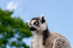 Cute grey and white furry ring tailed lemur looking forward with a blue background. Pretty eyes on this wild animal.