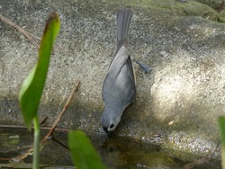 Cute grey and white tufted titmouse bird