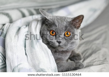 Cute grey cat lying in bed under a blanket. Fluffy pet comfortably settled to sleep. Cozy home background with funny pet. #1115130464