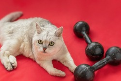 Cute grey cat lying on floor next to two dumbbells. Stay in healthy shape. Fitness, sport concept
