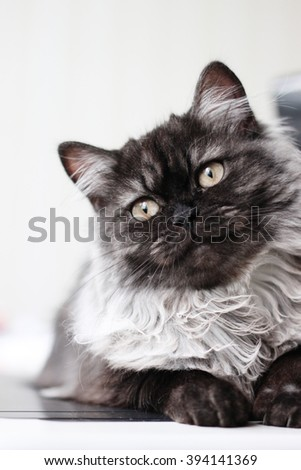 Cute grey cat lying on table #394141369