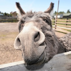 Cute grey donkey snout on the farm behind wooden fence. Sad shy gray donkey on a farm. Mule and wooden fence on farm.