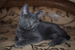 Cute grey kitten portrait. Kitten portrait