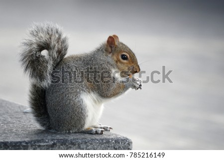 Cute grey squirrel eating in the park on the public street.Copy space,Empty blank for text.Animal and Natural Concept.