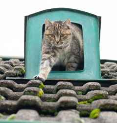 Cute grey stripped cat in the air flow opening on the old tiled roof . Cat resting in the roof vent.