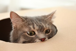 Cute grey tabby cat looking out of cardboard box at home, closeup