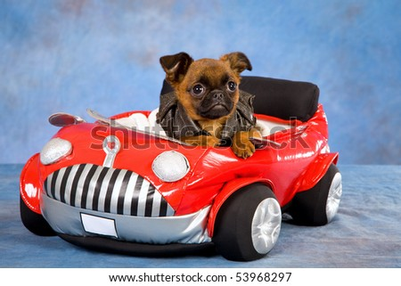 Cute Griffon puppy with soft toy car, on blue mottled background