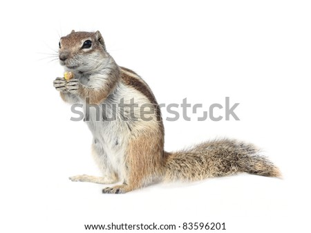 cute ground squirrel nibbling a nut