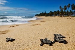 cute group of newborn baby hawksbill sea turtle (Eretmochelys imbricata) on the sand at the beach  walking to the sea after emerging leaving the nest at Bahia coast, Brazil,   with coconut palm tree