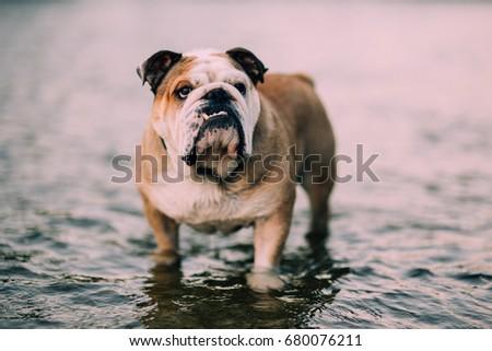 Cute grumpy English bulldog standing in a river. #680076211
