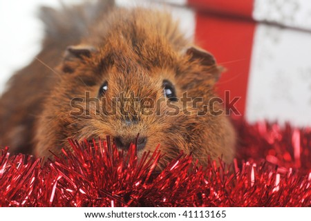 cute guinea pig and christmas ribbon  close up