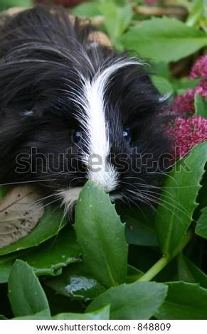 cute guinea pig in the garden