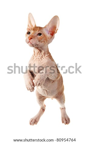 cute hairless oriental kitten isolated on white