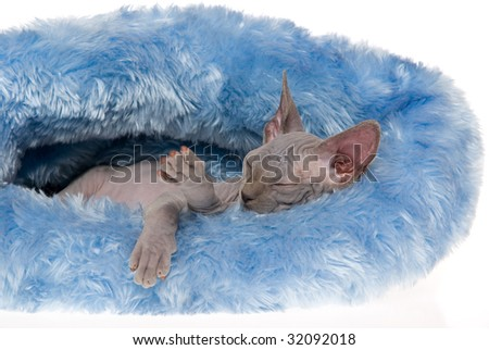 Cute hairless Spynx kitten sleeping in blue fur cat bed, on white background