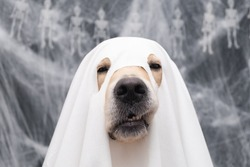 Cute Halloween ghost dog. Golden retriever in a ghost costume sits on a black background with cobwebs