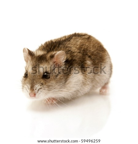 cute hamster isolated on white