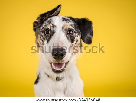 Photo of Cute, happy dog headshot smiling on a bright, vibrant yellow background