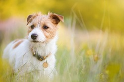 Cute happy jack russell terrier pet dog puppy listening in the grass with flowers. Spring, summer walking concept.