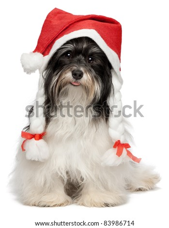 Cute happy sitting Bichon Havanese dog in Christmas hat. Isolated on a white background