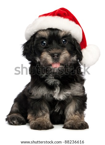 Cute happy sitting Bichon Havanese puppy dog in Christmas hat. Isolated on a white background