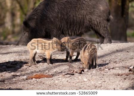 Cute happy swine family