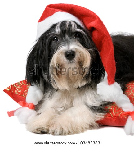 Cute havanese puppy dog with Santa hat lying on red cushion. Isolated on a white background