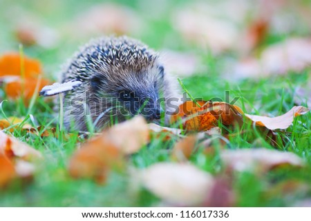 cute hedgehog lies between autumn leaves on the meadow and looks at the camera