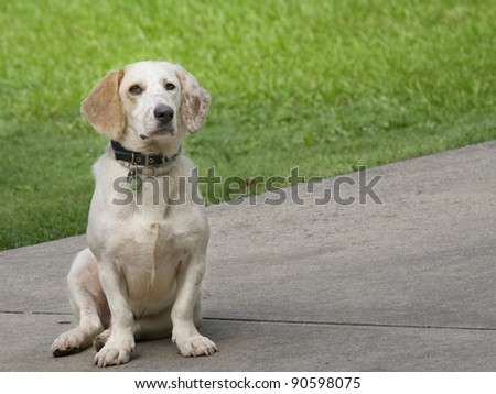 Cute hound dog sitting on the pavement
