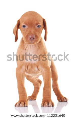 cute hungarian viszla puppy dog standing on a white background