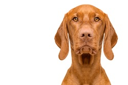 Cute hungarian vizsla dog front view studio portrait. Dog looking at camera headshot isolated over white background.