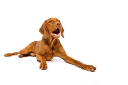 Cute hungarian vizsla dog studio portrait. Gorgeous dog lying down and looking up smiling isolated over white background.