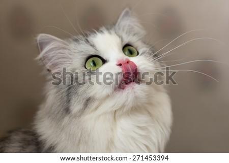 Cute hungry cat licks lips. Shallow DOF