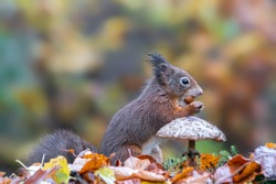 Cute hungry Red Squirrel (Sciurus vulgaris) eating a nut in a forest covered with colorful leaves and a mushroom. Autumn day in a deep forest in the Netherlands. Blurry yellow and brown background.