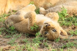 cute image of a lion cub on its back and looking in to the camera