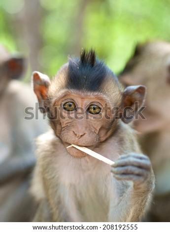 Cute infant looking Monkeys in tropical Vietnam