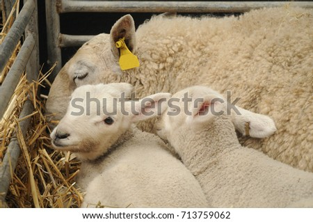 cute innocent little white lamb and her family #713759062