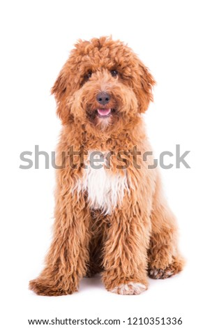 Cute Irish doodle puppy 8 months, isolated on white background #1210351336