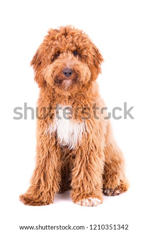 Cute Irish doodle puppy 8 months, isolated on white background #1210351342