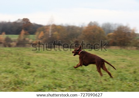 022d62914c5 Red irish setter dog, dog for a walk Images and Stock Photos ...