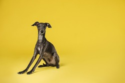 Cute Italian Greyhound dog on yellow background. Space for text