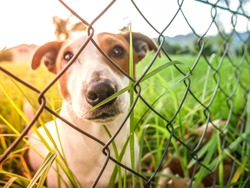 Cute Jack Russel dog sitting on other side of the fence on grass, endearing eyes