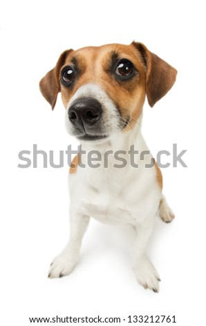 Cute Jack Russel terrier dog. Dog with big nose on white background. Studio shot.