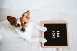 cute jack russell dog on the sofa with letter board with STAY HOME message. Pandemic coronavirus covid-19 concept