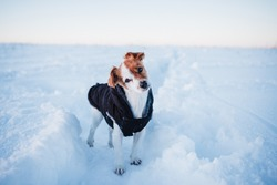 cute jack russell dog wearing coat standing in snowy mountain. Pets and sports in nature. winter season