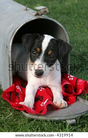 cute jack russell  puppy in a mailbox