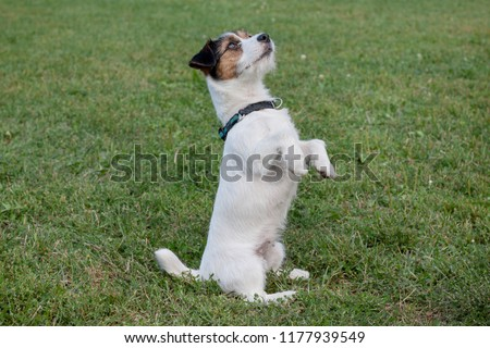 Cute jack russell terrier puppy is standing on the hind paws. Pet animals. #1177939549